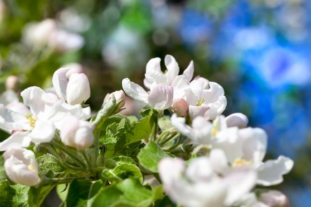 Bloeiende bomen in de boomgaard in het voorjaar tijdens de bloei close-up van bloeiende fruitbomen