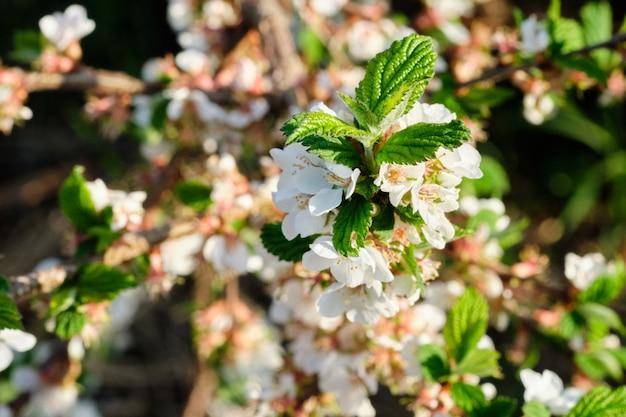 Bloeiende bomen in de lentetuin. de achtergrond van de blauwe hemel