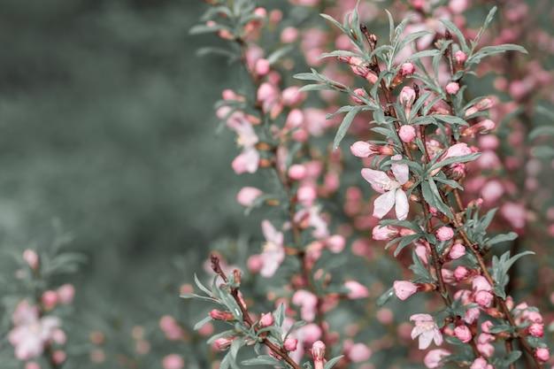 Bloeiende bomen met lente roze bloesem en dauw in de natuur met