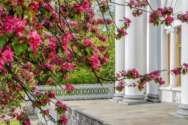 Bloeiende boom bij de witte muur van een luxe huis. de eerste kers komt tot bloei in de lentezon.