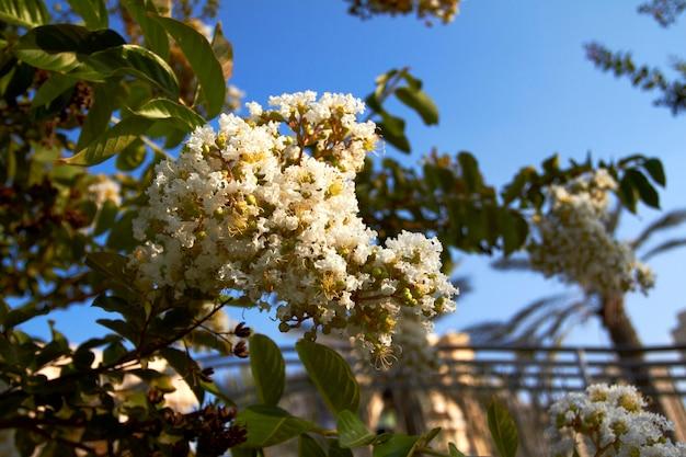 Bloeiende boom met witte bloemen tegen blauwe lucht