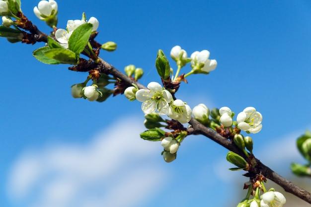 Bloeiende boomgaard in de lente bloeiende pruimenboomgaard op een blauwe hemelachtergrond