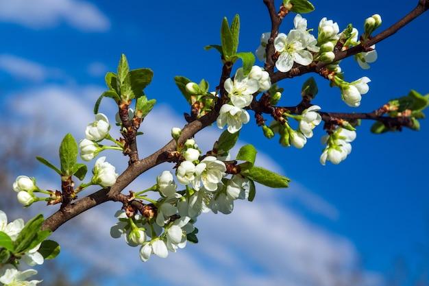 Bloeiende boomgaard in het voorjaar. bloeiende pruimenboomgaard op een blauwe hemelachtergrond. lente achtergrond. lente boomgaard
