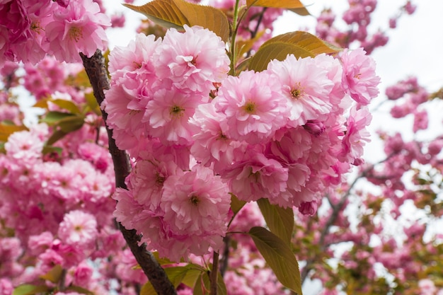 Bloeiende boomgaard in het voorjaar. bloeiende zoete cherry blossom of sakura boomgaard boom op een blauwe hemelachtergrond. lente achtergrond. lente boomgaard