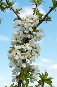 Bloeiende boomgaard in het voorjaar. bloeiende zoete kersenboomgaard boom op een blauwe hemelachtergrond. lente achtergrond. lente boomgaard