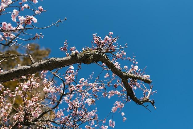 Bloeiende boomtak met roze bloemen tegen een blauwe heldere hemel in het voorjaar