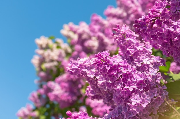 Bloeiende borstel van lila struik - paarse kleur, tegen de blauwe hemel.