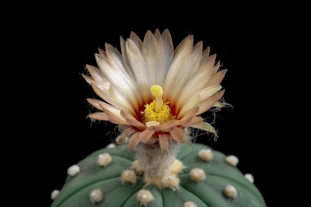 Bloeiende cactusbloem astrophytum asterias