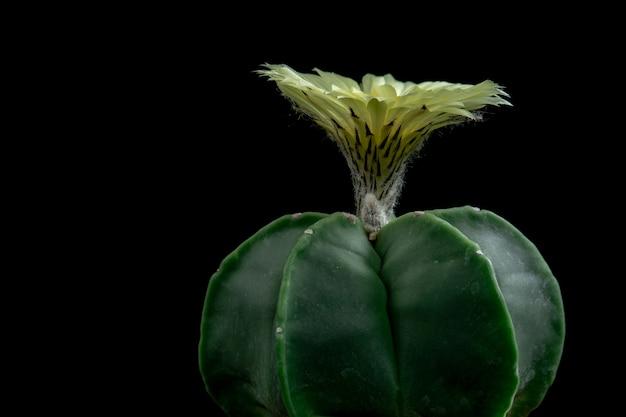 Bloeiende cactusbloem astrophytum myriostigma