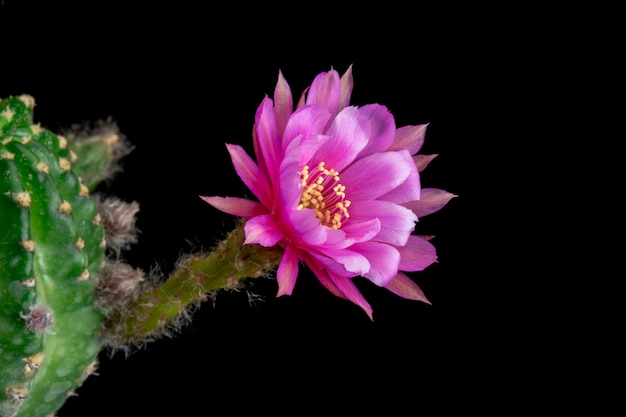 Bloeiende cactusbloem echinopsis hybride roze kleur