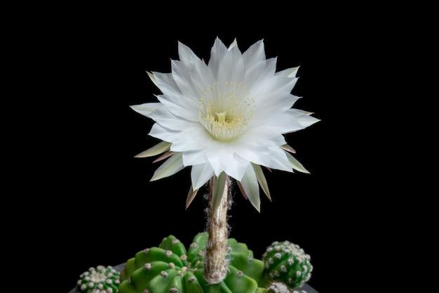 Bloeiende cactusbloem echinopsis subdenudata witte kleur