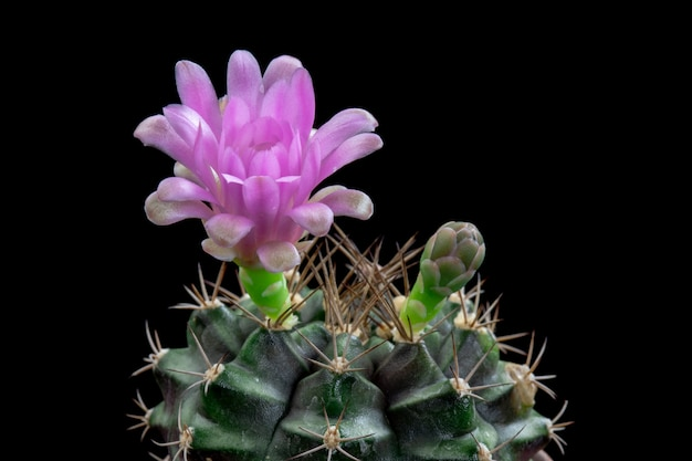 Bloeiende cactusbloem gymnocalycium roze kleur