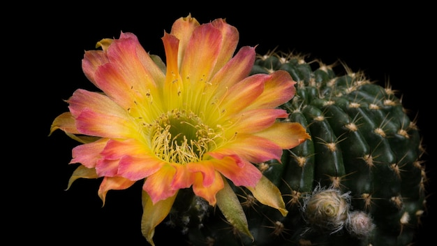 Bloeiende cactusbloem lobivia hybride kleur