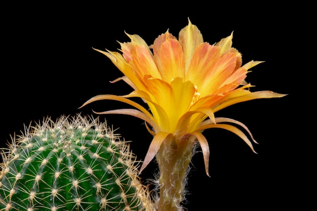 Bloeiende cactusbloem lobivia hybride oranje kleur