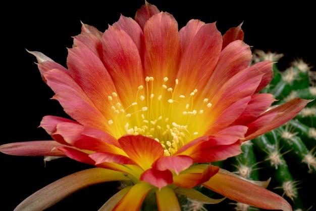 Bloeiende cactusbloem lobivia hybride rode kleur