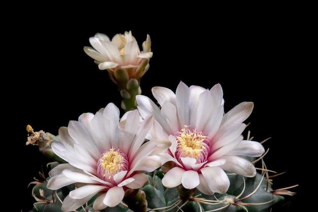Bloeiende cactusbloemen gymnocalycium baldianum witte kleur