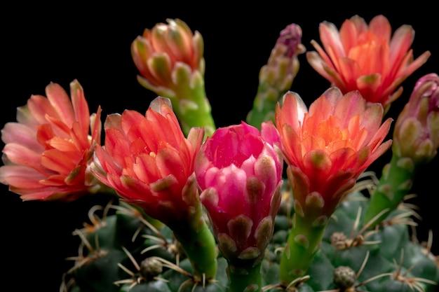 Bloeiende cactusbloemen gymnocalycium baldianum