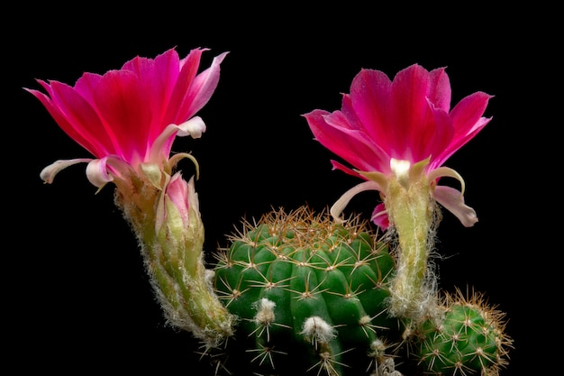 Bloeiende cactusbloemen lobivia hybride rode kleur