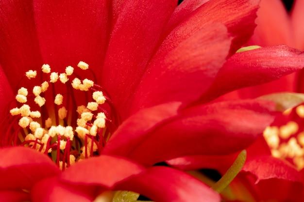Bloeiende cactusbloemen volledige kader rode kleur