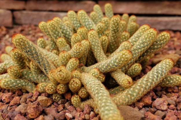 Bloeiende cactusplanten in woestijnpark