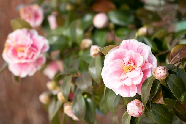 Bloeiende camellia-bloemen in korea