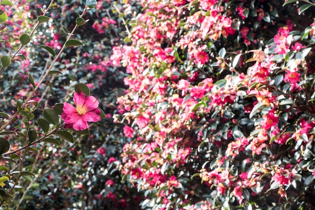 Bloeiende camellia-bloemen van jeju island, korea