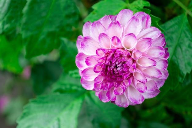 Bloeiende chrysant van dichtbij in de tuin