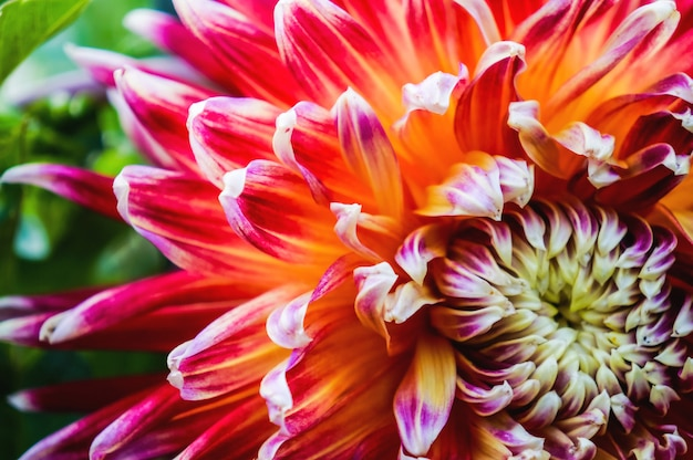 Bloeiende dahlia's. de rassenbloemen. pioenen in de herfst tuin. detailopname.