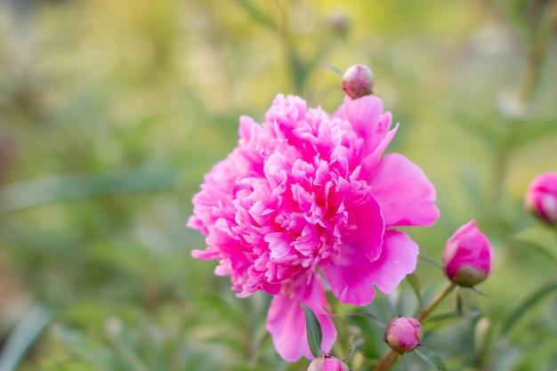 Bloeiende delicate roze pioenbloemen in de tuin. roze pioenbloem, paeonia suffruticosa. pioen in het chinees, symbool in de chinese cultuur. het is de nationale bloem voor china. weelderige grote bloemhoofd
