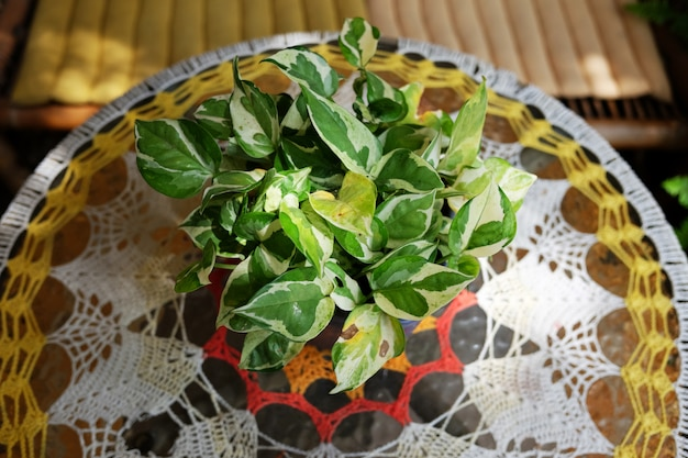Bloeiende epipremnum aureum planten in vaasdecoratie op glazen tafel met natuurlijk zonlicht