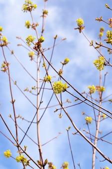 Bloeiende esdoorn, close-up van esdoornbloemen, groen, lentetijden gedurende het jaar, blauwe lucht
