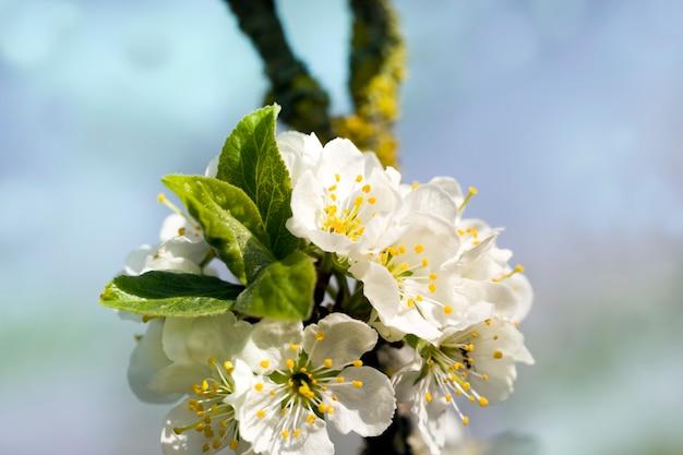 Bloeiende fruitbomen