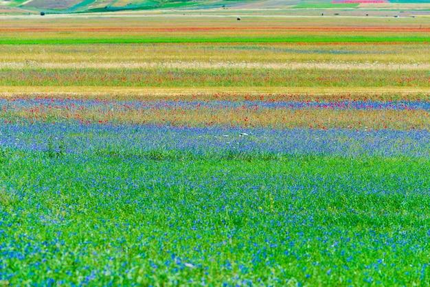 Bloeiende gecultiveerde velden, beroemde kleurrijke bloeiende vlakte in de apennijnen, castelluccio di norcia hooglanden, italië. landbouw van linzengewassen, rode klaprozen en blauwe korenbloemen.