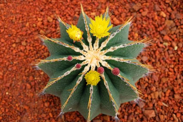 Bloeiende gele bloemen van cactus plant in woestijn park
