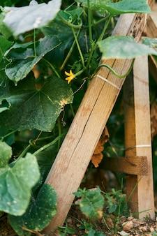 Bloeiende gele komkommerstruik in een tuinbed met een steun
