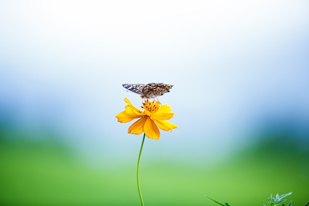 Bloeiende gele kosmosbloemen met vlinder in blauwe hemel, dof-effect