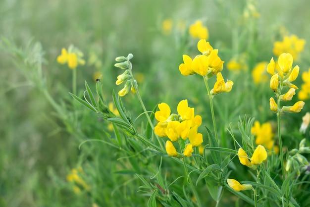 Bloeiende gele lathyrus pratensis wilde bloemen onder groen gras in zomer veld
