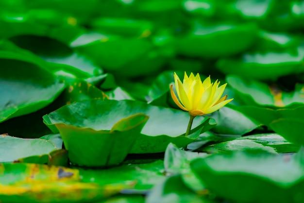 Bloeiende gele lotusbloem met veel groene bladeren in de vijver. levendige bloem in zachte focus. exotisch landschap.
