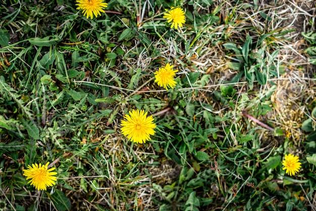 Bloeiende gele paardebloemen