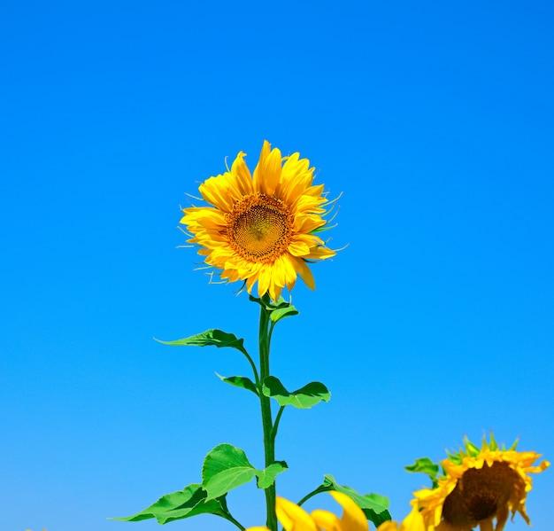 Bloeiende gele zonnebloem tegen een heldere blauwe hemel