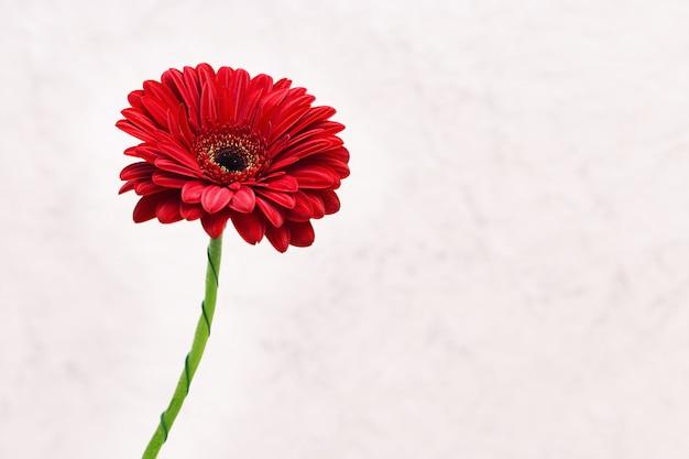 Bloeiende gerberabloem rood gekleurd met kopie ruimte voor uw tekst. wenskaart voor wensen met valentijnsdag, verjaardag, bruiloft. selectieve aandacht.