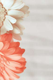 Bloeiende gerberabloem roze en wit gekleurd met kopie ruimte voor uw tekst. wenskaart voor wensen met valentijnsdag, verjaardag, bruiloft. verticaal formaat. selectieve aandacht.