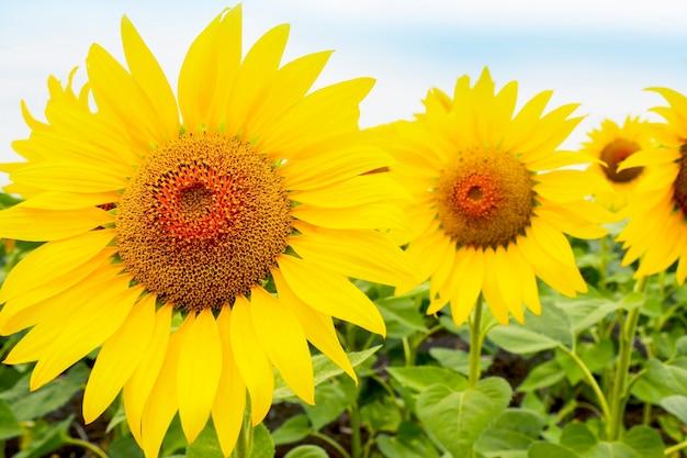 Bloeiende grote gele zonnebloemen op veld