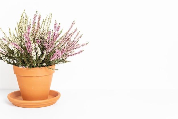 Bloeiende heide calluna vulgaris in bloempot over wit oppervlak