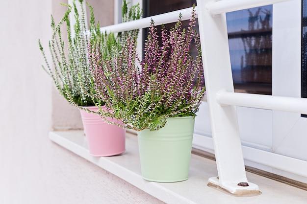 Bloeiende heide calluna vulgaris ingemaakt op vensterbank.