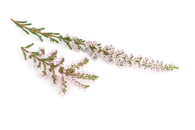 Bloeiende heide geïsoleerd op een witte achtergrond. calluna vulgaris