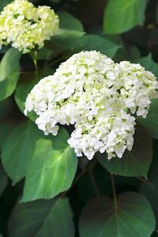 Bloeiende hortensia