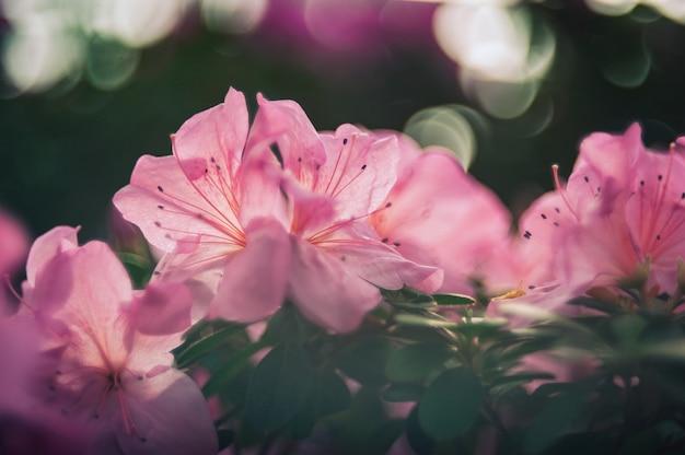 Bloeiende hybride azalia rhododendron hybridumselectie in een kas