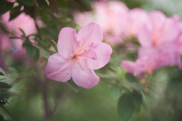 Bloeiende hybride azalia rhododendron hybridumselectie in een kas.