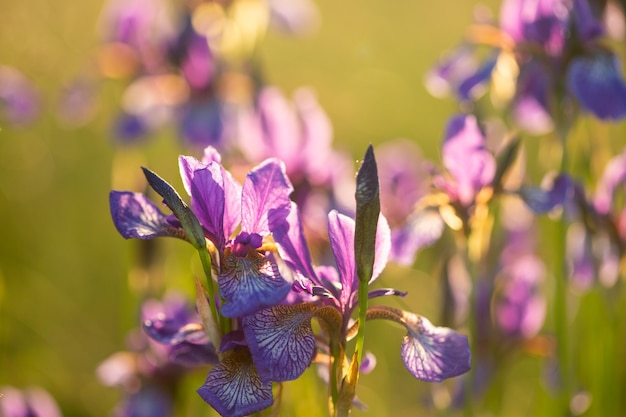 Bloeiende iris in een veld bij zonsondergang. open lucht.